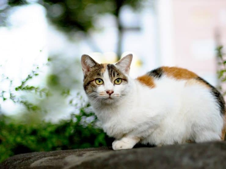 gato Colorpoint Shorthair